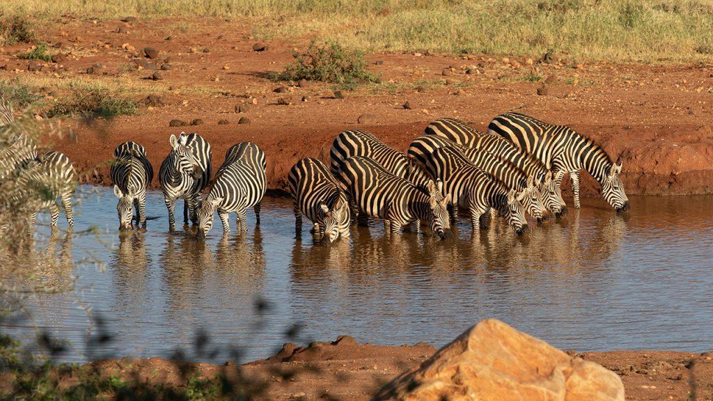 Zebror vid vattenhålet i Kilaguni.