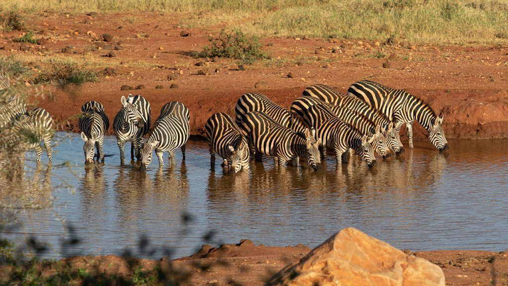 Zebras at the waterhole in Kilaguni.