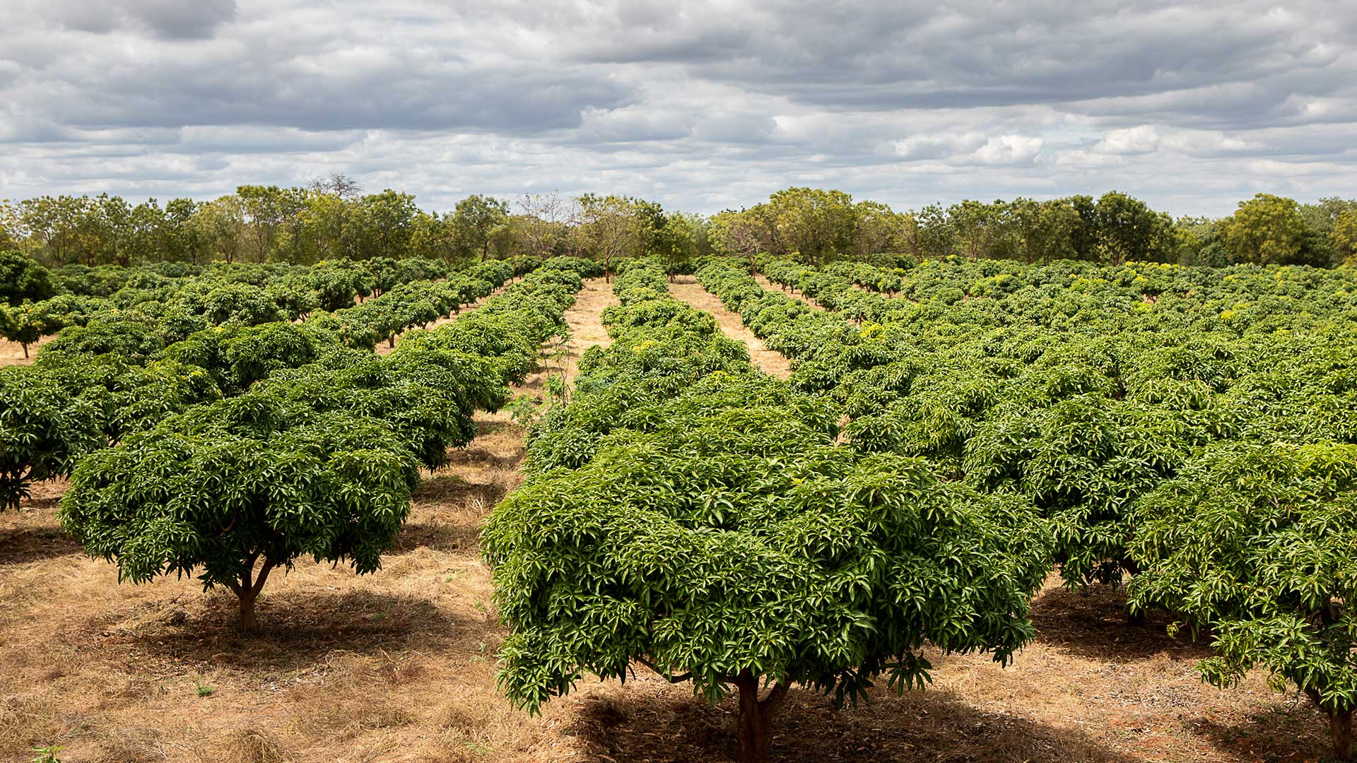Mango trees on the test farm in Kibwezi