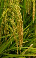 Appellation of origin Calasparra Rice