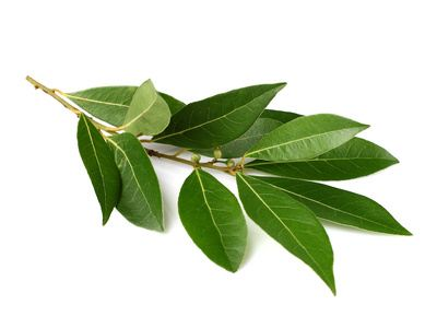 The bay leaf: therapeutic properties and Mythology
