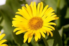 Arnica Montana for Bumps, Sprains and more