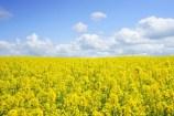 Austria declares moratorium on importation of transgenic rapeseed