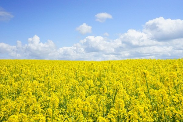Austria declares moratorium on importation of transgenic rapeseed