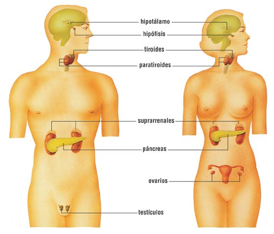 Take care of your glands (thyroid, adrenals, etc.)