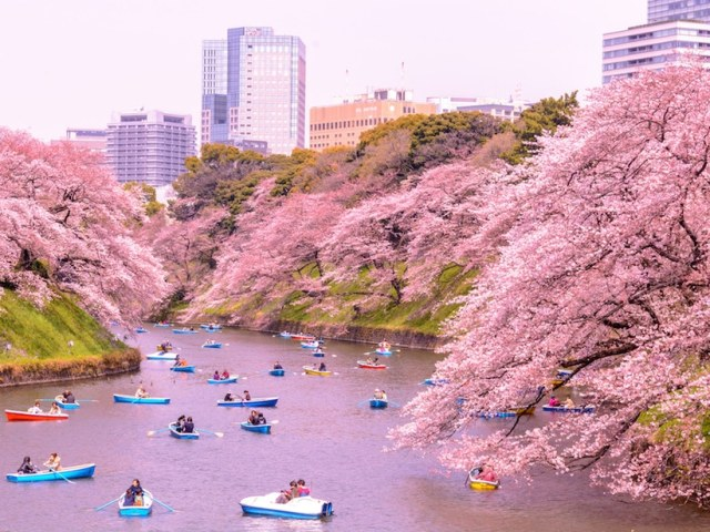 Cherry Blossom Season in Japan 2018: Where and When to See Sakura