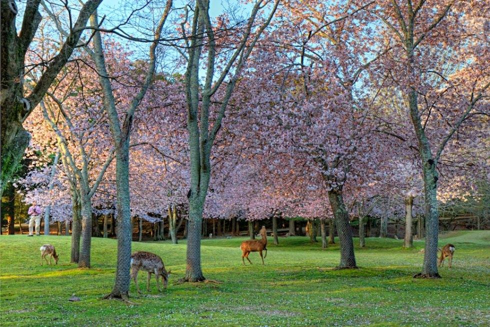 Where and When to See Sakura: Nara Park, Japan