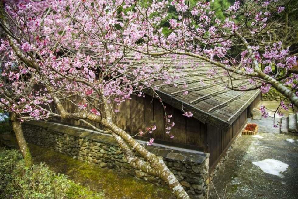 Formosan Aboriginal Culture Village with cherry blossoms
