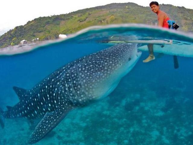 Travel Trivia: Whale Sharks of Cebu