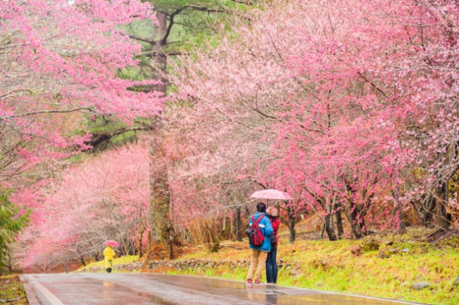 Taiwan Cherry Blossom Season: Alishan National Forest
