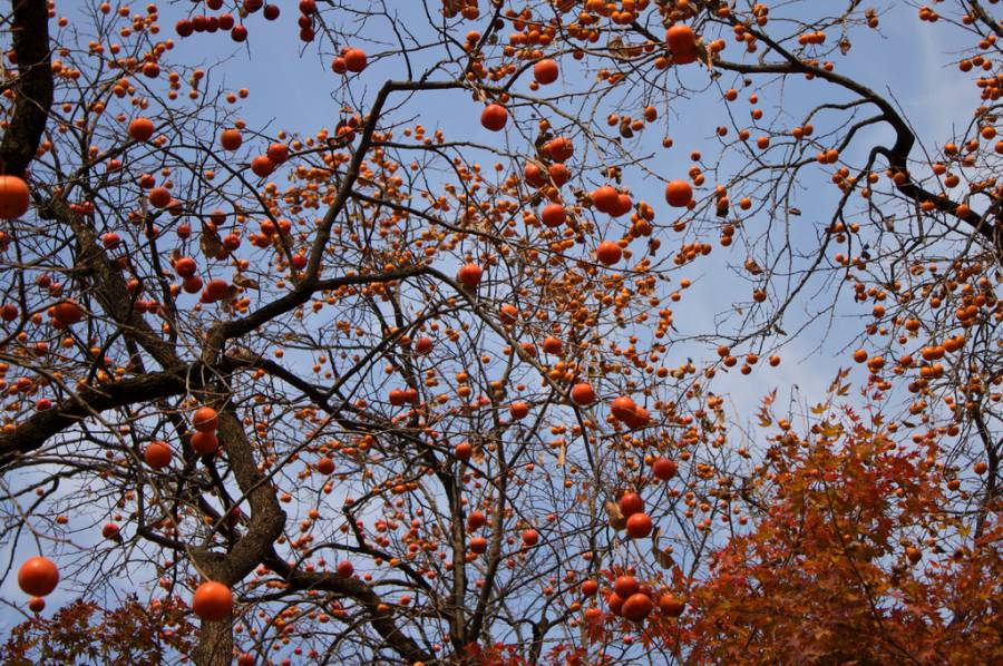 Taste persimmons fresh from the mountain! (image via Chelsea Marie Hicks, Flickr)