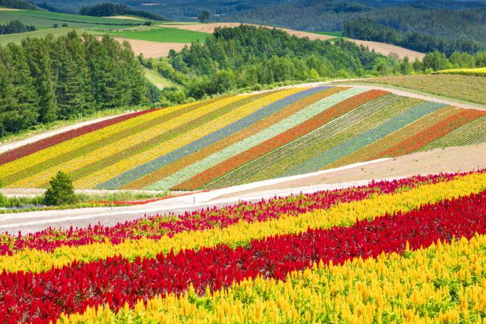 Hokkaido Attractions: Farm Tomita