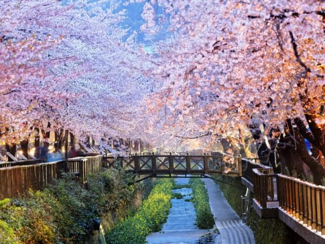 See Korea's Cherry Blossoms: Best Hotels & Areas