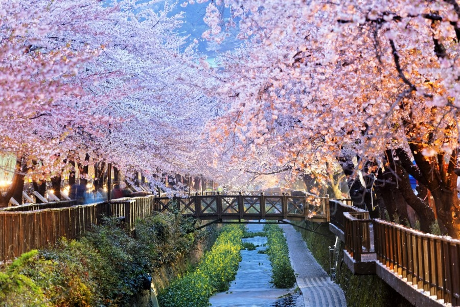 Best Time and Place to Catch the Cherry Blossoms in Korea: Jinhae Cherry Blossom Festival