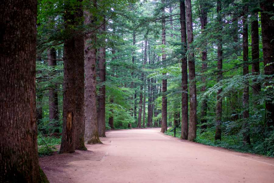 Woljeongsa Fir Tree Forest Path (image via Shutterstock)