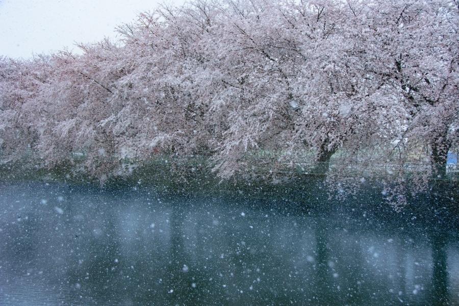 sakura trees with snow