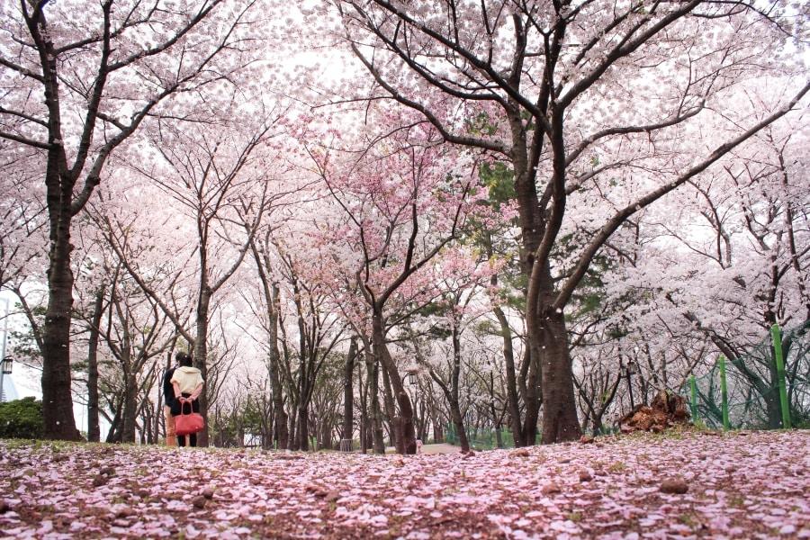 Cherry Blossom in Jeju Island South Korea