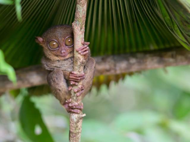 Cool Facts About Tarsiers