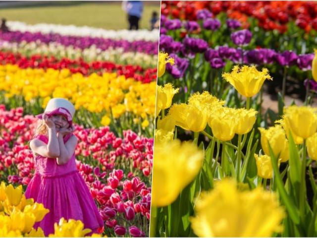 What You Should Know About The Tesselaar Tulip Festival—And What You Should Look Forward To In 2022!