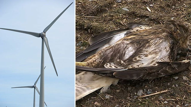 Raptor killed by wind turbine