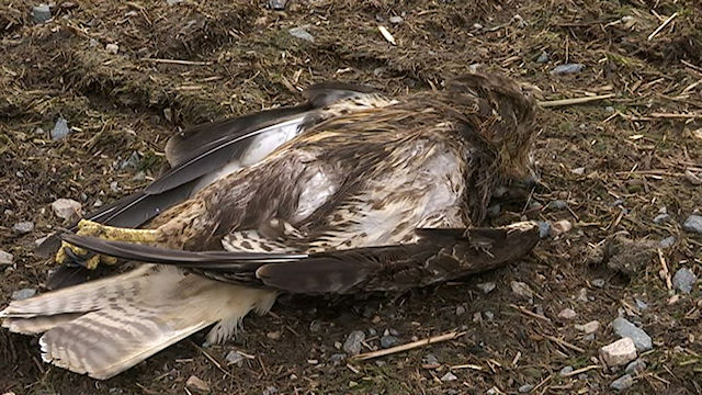 Raptor killed by wind turbine