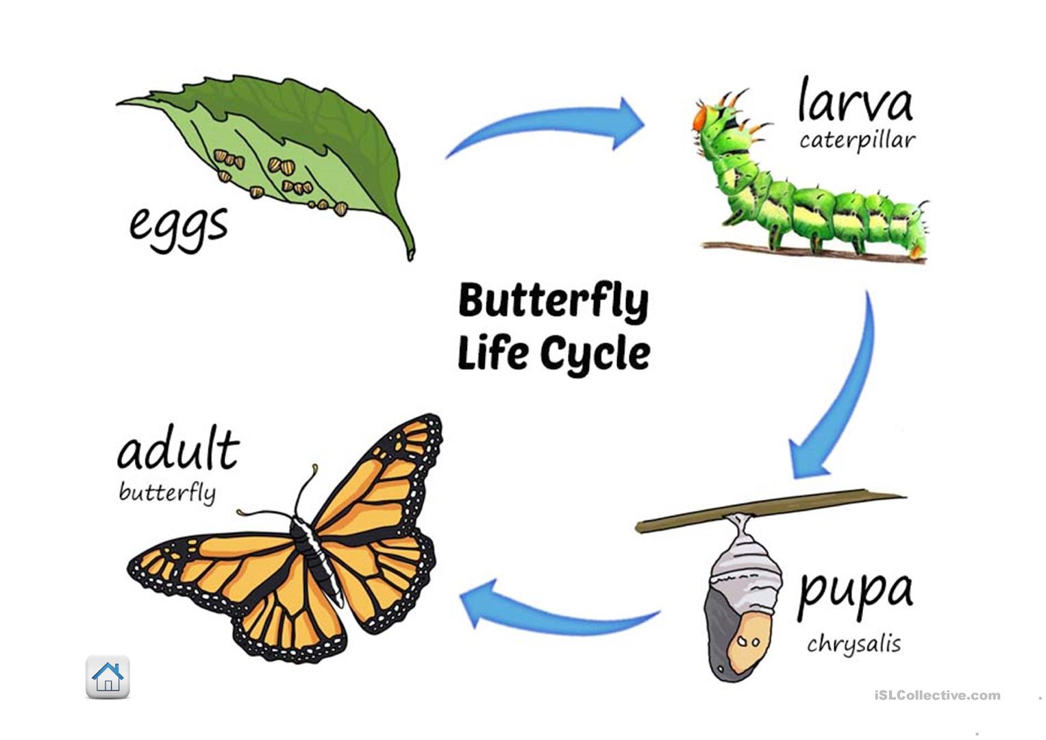 Life Cycle Of Butterfly Worksheet