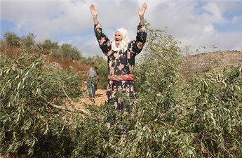 ZIONIST SETTLERS UPROOT 5000 OLIVE TREE SAPLINGS NEAR TURMUSAYYA