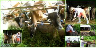 INDONESIA KAMPAR REGENCY PRODUCES 2,5 MILLION LITERS OF BIOURINE REPLACING CHEMICAL FERTILIZER