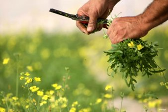 THYME CULTIVATION FUELS PALESTINIAN GREEN GOLD RUSH