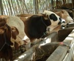 Sacrificial Animals Must Fulfill Aspects of Halal and Welfare