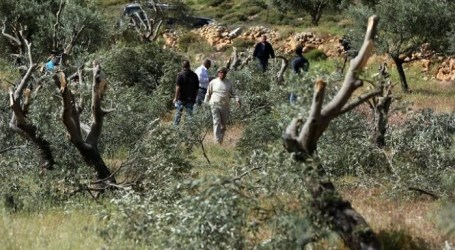 Israeli Settlers Chop Down Dozens of Palestinian Olive Trees