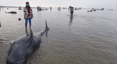 Dozens of Whales Died After Stranded in Madura, East Java