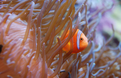 Poisson clown, Aquarium de la Porte Dorée, Paris © DR