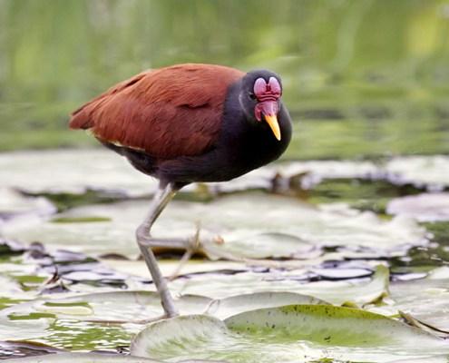 Jacana - Manu National Park