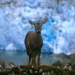 The Andean stag