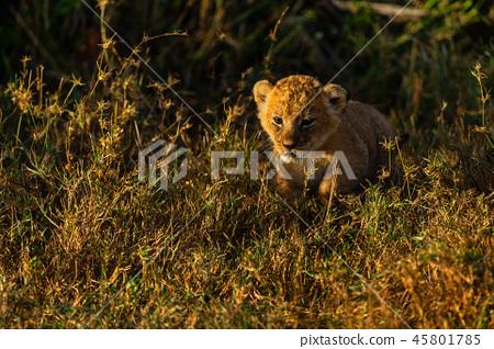 Baby Of Lion In Savannah Stock Photo 45801785 Pixta