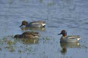 Teals (Anas crecca), a species absent in the pictures library but very present on the reserve © C. König