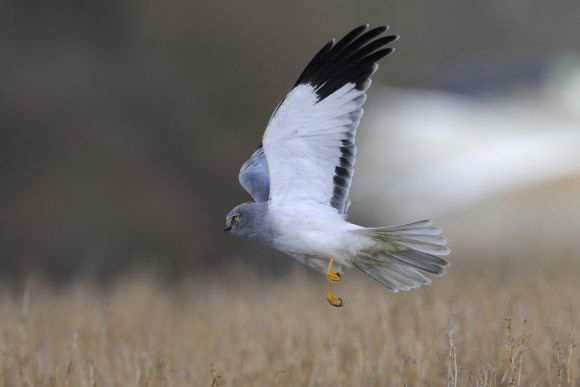 Hen Harrier (Circus cyaneus) © F. Cahez – LPO