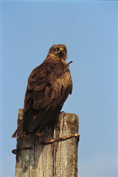 Black Kite (Milvus migrans) © C. Carichiopulo – LPO