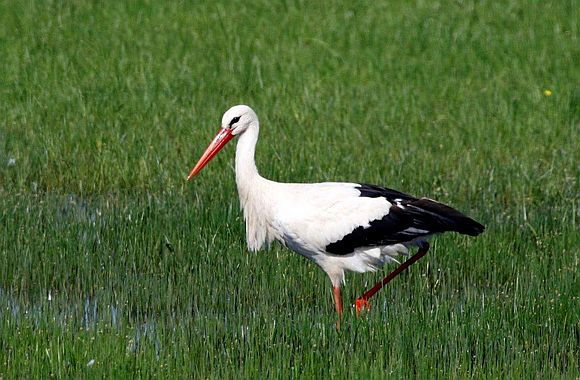 White Stork (Ciconia ciconia) © D. Joire