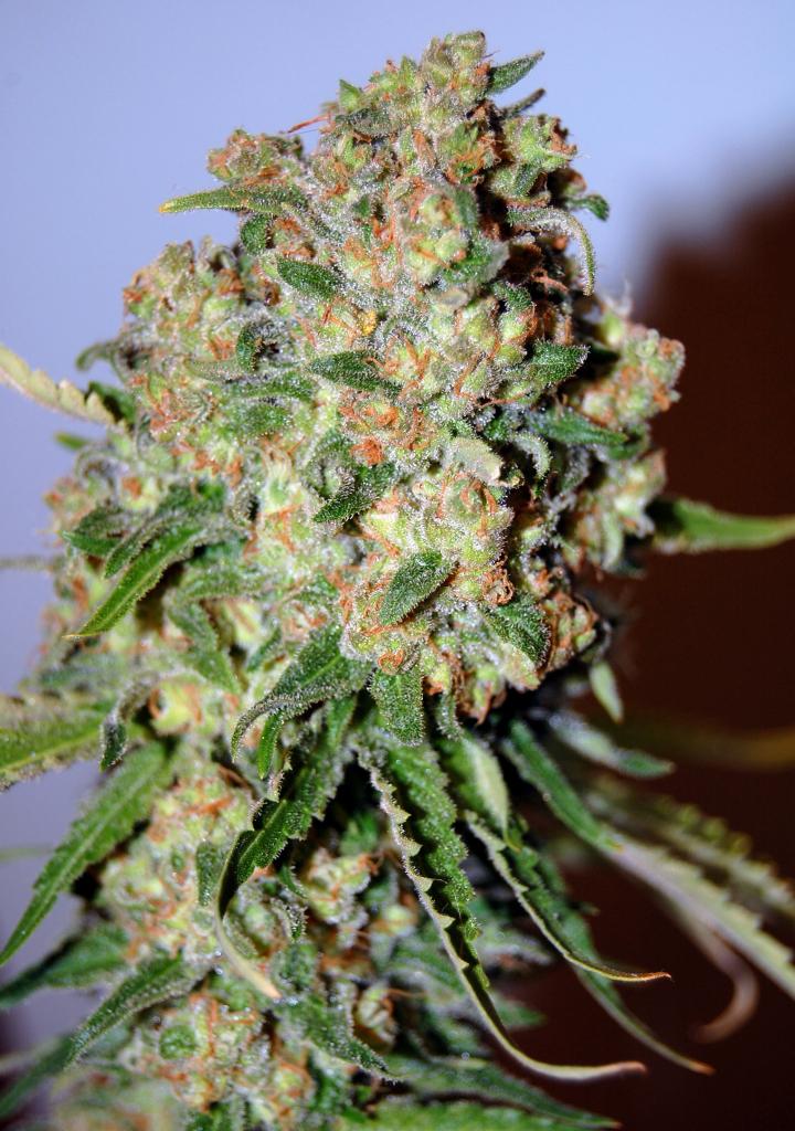 Critical Advanced Seeds Cannabis Strain Info