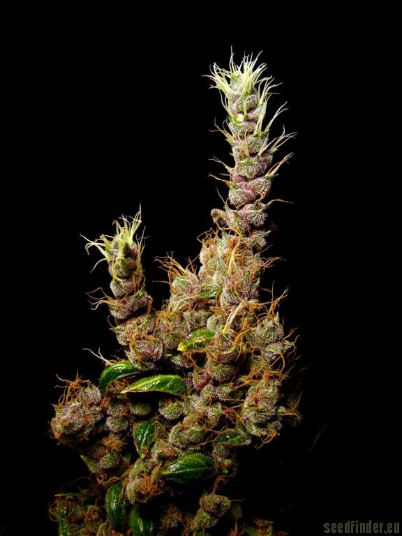 Strain Gallery Heavy Duty Haze Clone Only Strains PIC