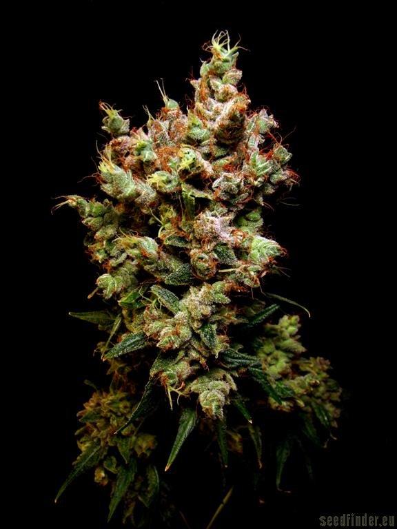 Skywalker Dutch Passion Cannabis Strain Info