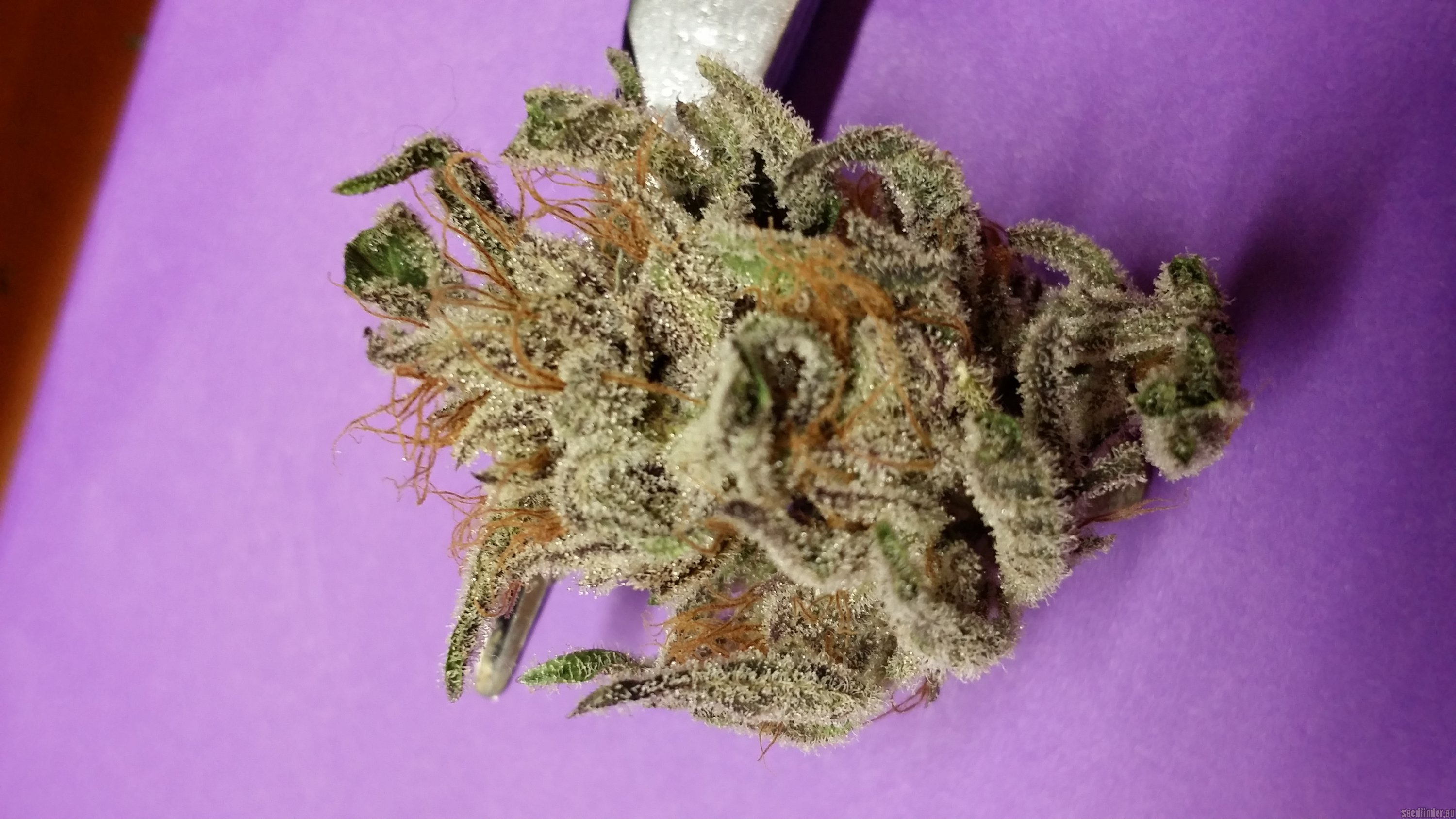 Info About The Unknown Or Legendary Cannabis Strain Quot Obama
