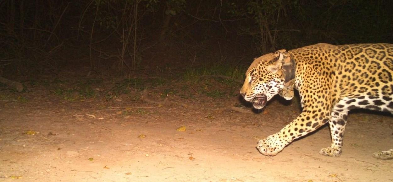 jaguar en peligro de extinción