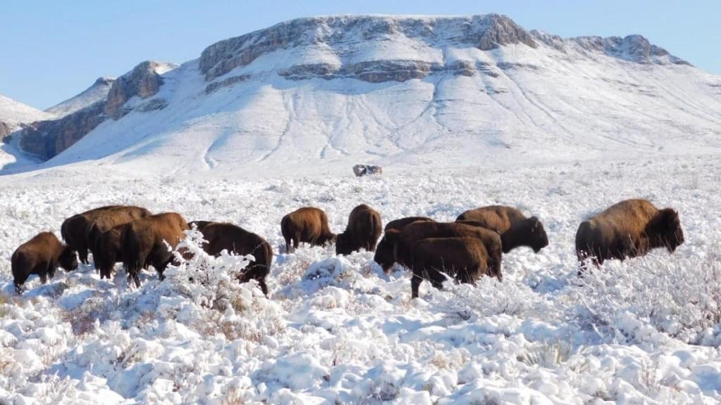 Profepa cacería bisonte
