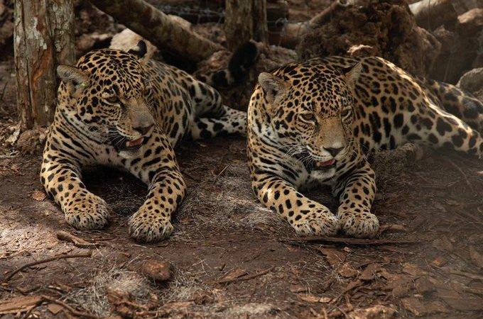 jaguares Quintana Roo