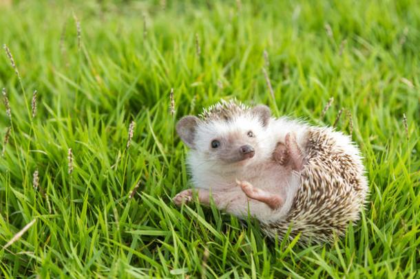 Hedgehog Sightings Continue to Fall in the Countryside. Image : Mental Floss