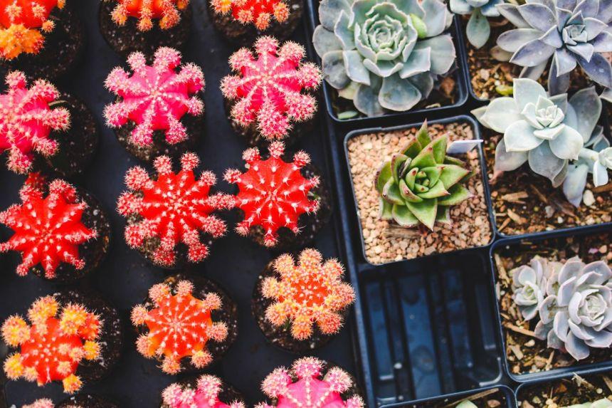 Plantas de moda: cactus