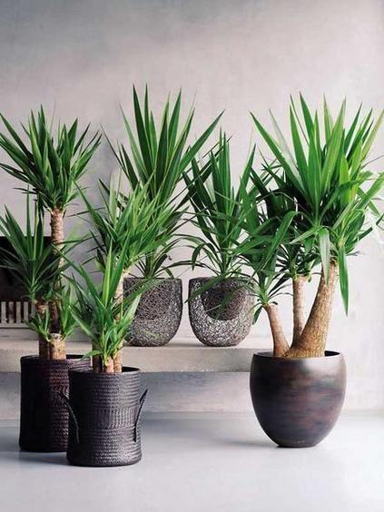 Plantas de moda: Imagen con varias Yucas